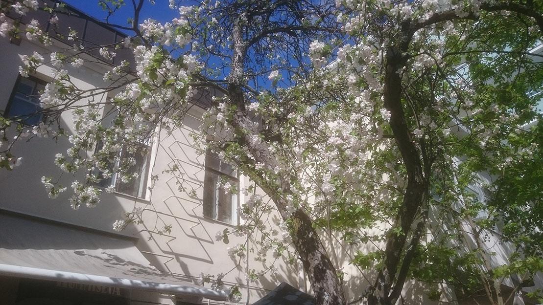Omenapuu kukkii terassilla